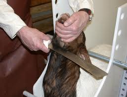 Abattage cachère et halal, l'incohérence de la loi canadienne sur l'abattage des animaux